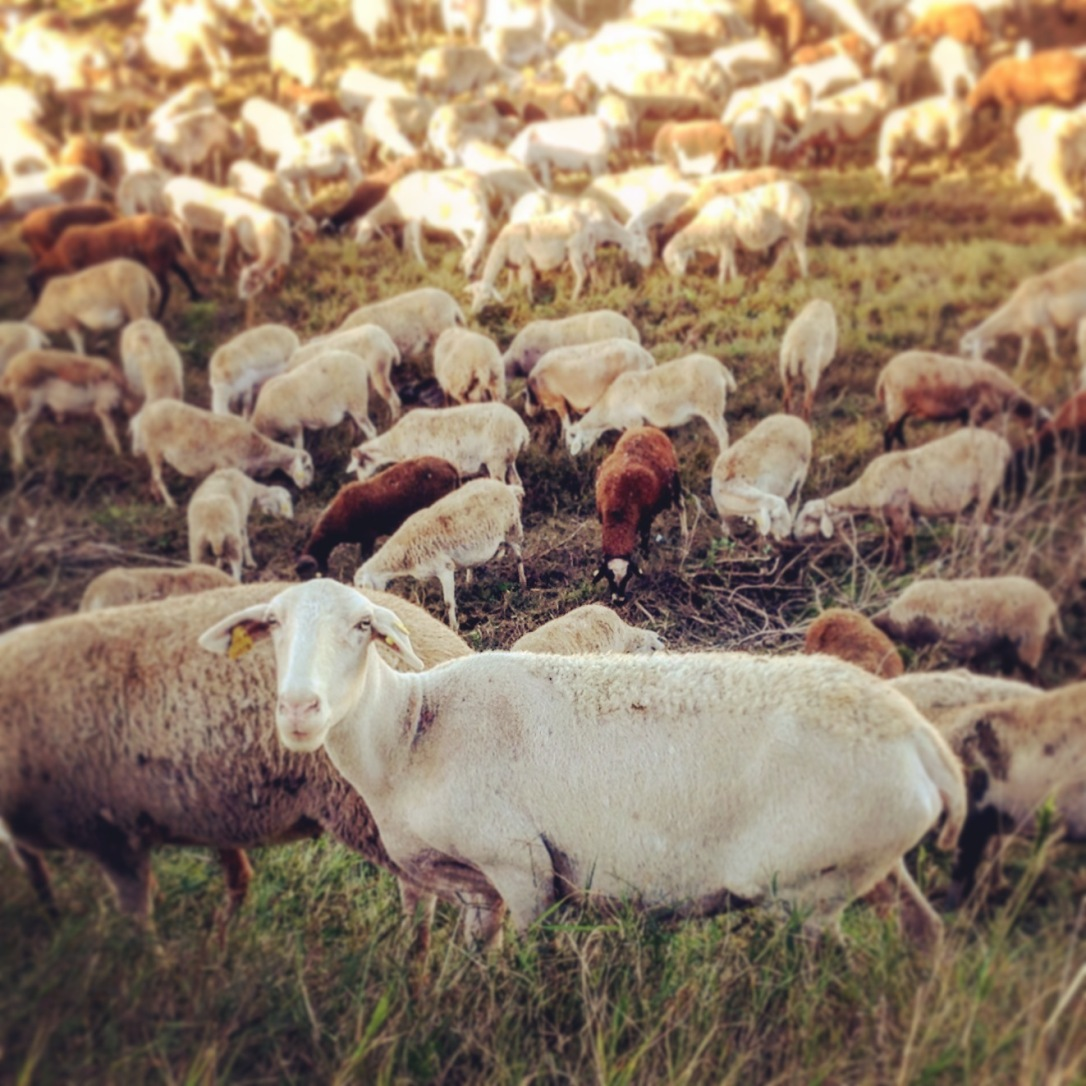 Castellon pedalar 5 ovelhas